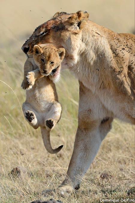 dominique delfino,photographie animalière,lion,masaï mara,