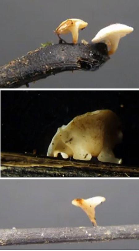 Hymenoscyphus-pseudoalbidus.jpg