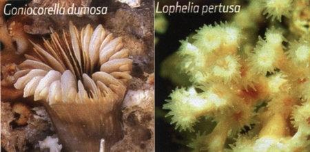 coraux,cnidaires,anthozoaires,madrépores,scléractiniaires,caraïbe,antilles,récif corallien