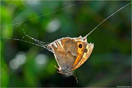 dominique delfino,photographe naturaliste et animalier,papillon,araignée,toile d'araignée