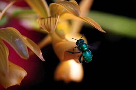2-abeille-a-orchidees-1.jpg