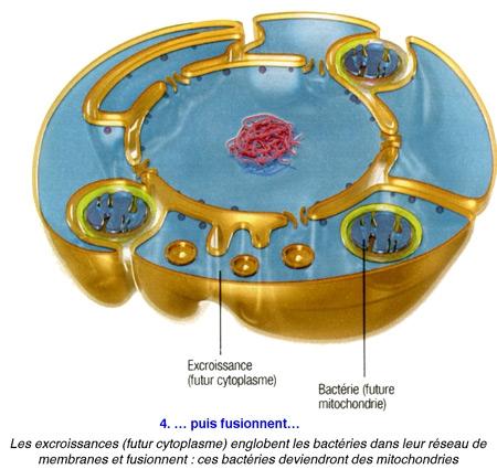Cellule-eucaryote-4-450.jpg