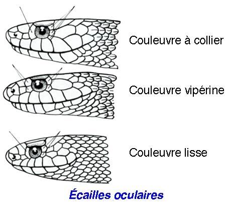 Couleuvre-collier_écailles-450.jpg