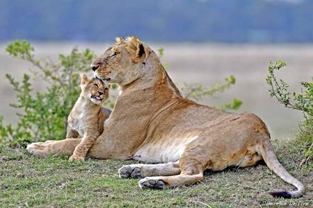 Lionne et lionceau-450.jpg