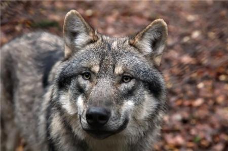 loup,mercantour,alpes,vercors,jura,vosges,savoie,bauges