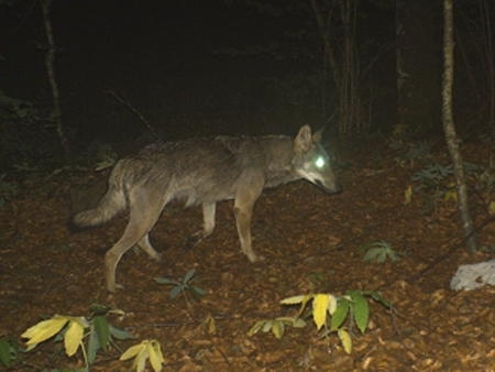 loup,jura,prédateurs