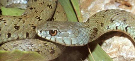 Natrix-natrix-astreptophora-(Espagne)-450_F.-Forman.jpg
