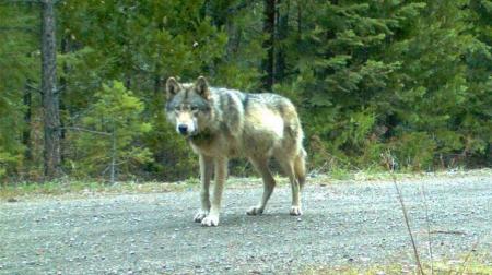 biologie loup,france,alpes,massif jurassien,vosges,mercantour