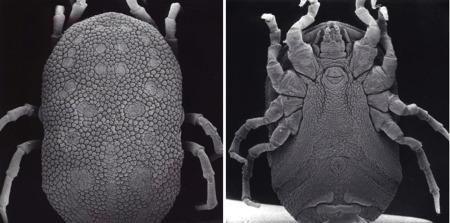 Ornithodoros_amblus,_femelle_faces dorsal-ventrale_NTC649_1.jpg
