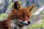 renard,chasse au renard,maladie de lyme,mulot,campagnol