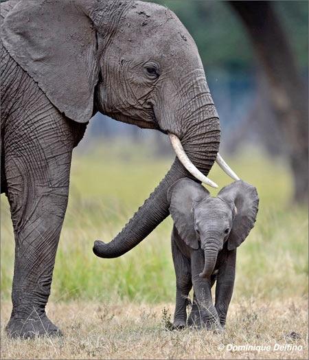 Delfino-éléphante-450.jpg