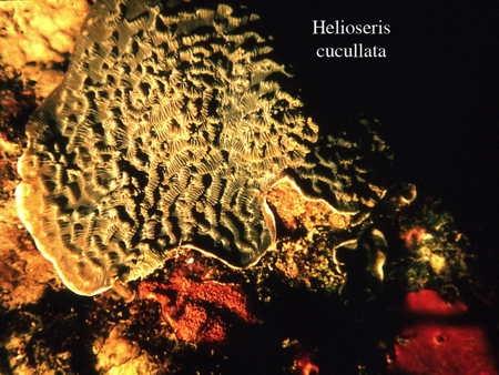 075Helioseris cucullata2-1.jpg