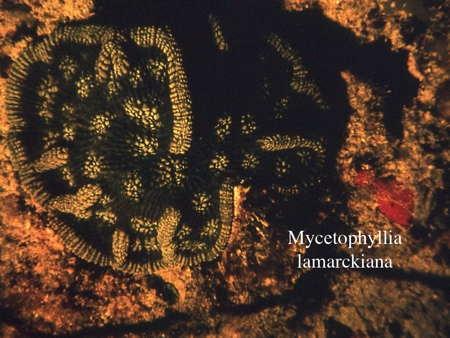 058Mycetophyllia lamarckiana2-1.jpg