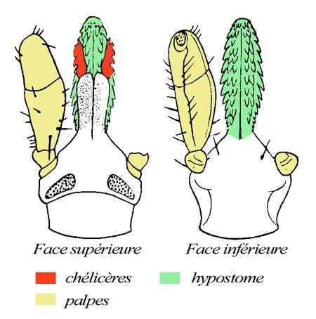 tique,ixode,maladie de lyme,parasitologie,ectoparasites,vecteurs de maladie,acariens,arachnides,arthropodes