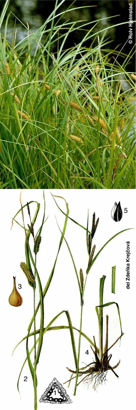 Carex-450.jpg