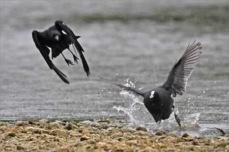 foulque macroule,dominique delfino,photographe naturaliste et animalier