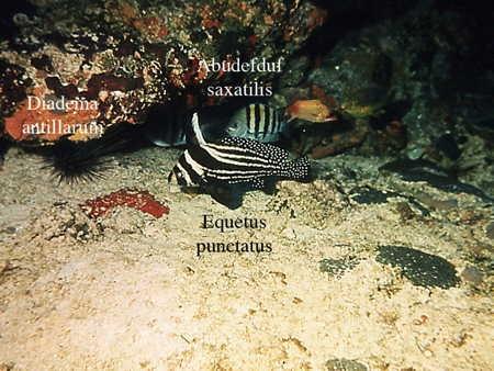 164Equetus punctatus1-1.jpg