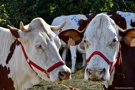 Vaches-comice des Écorces_03-450.jpg