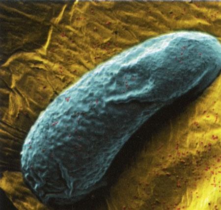 Embryon-hybride-de-Nasonia-450.jpg