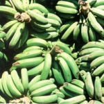 chlordécone,pesticides de la banane,guadeloupe,martinique,cancer de la prostate