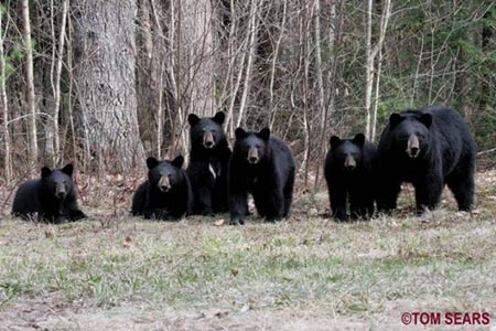 Ours-noirs+25_04_2008-450.jpg
