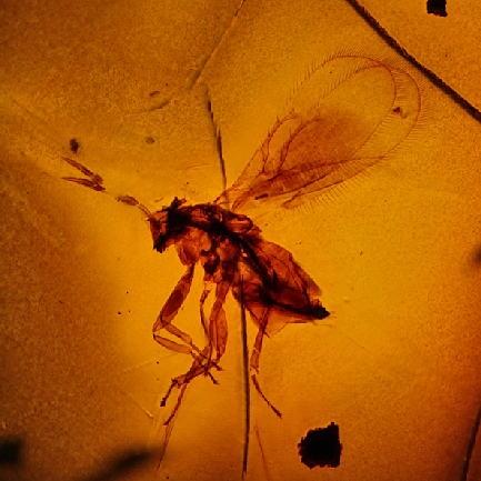 1-Trichogrammatidae-1.jpg