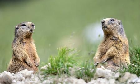 Marmottes-Delfino.jpg