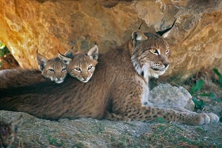 lynx,jura,franche-comté,raydelet,biodiversité,prédateurs,loup-cervier,felis lynx