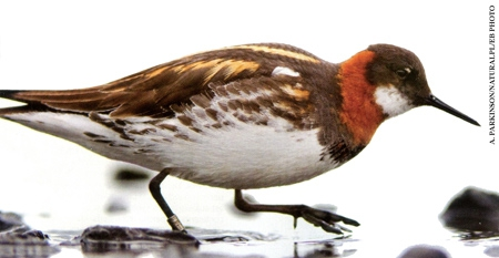 Phalarope-femelle-à-bec-étroit-450.jpg