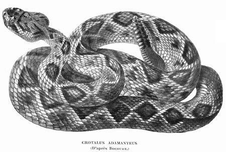 Crotalus-adamanteus-blog.jpg