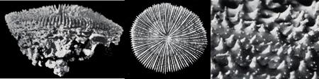 26Scolymia-cubensis_4-1.jpg