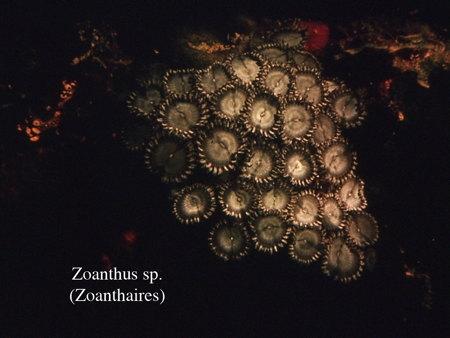 080Zoanthaires2-1.jpg
