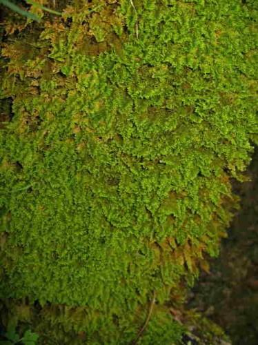 Ctenidium molluscum_0128.jpg