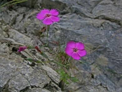 Œillet des rochers, œillet sauvage (Dianthus sylvestris)_1931.jpg