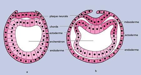 Amphioxus-mésoderme-1.jpg