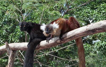 Eulemur macaco_7-1.jpg