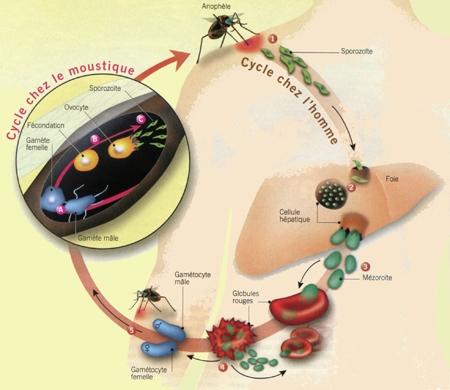 le monde,paludisme,plasmodium,anophèle,burkina faso,éradication,lâcher de moustiques mâles