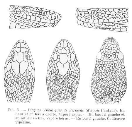 Plaques-céphaliques-serpents-blog.jpg