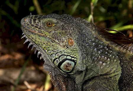 Iguana_iguana_male_tête-1.jpg